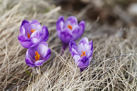 Spring ,  flowers, colorful crocuses blooming