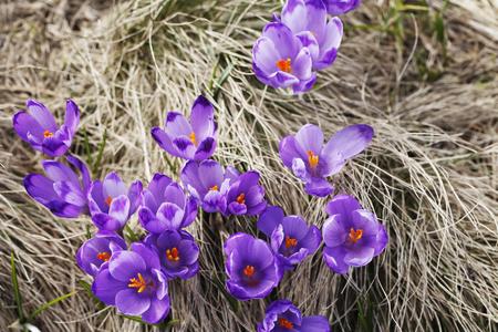 春、花の咲くカラフルなクロッカス