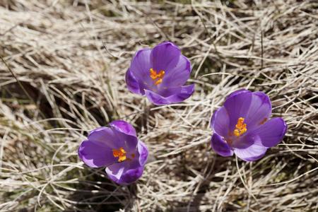 春、花の咲くカラフルなクロッカス 写真素材 - 79157973
