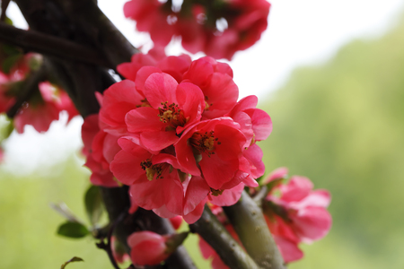 春に鮮やかな赤い花