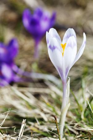 春、花の咲くカラフルなクロッカス 写真素材 - 79165544