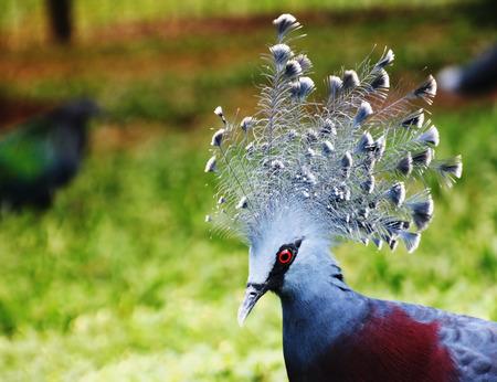 Western crowned pigeon ,common crowned pigeon or blue crowned pigeon Stock Photo