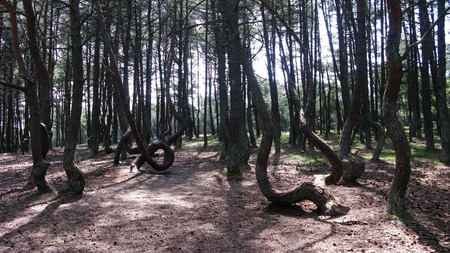 Dancing forest, Curonian spit, Kaliningrad region Russia