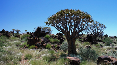 Quiver tree or kokerboom forest near Keetmanshoop, Namibia