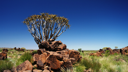 quiver: Quiver tree or kokerboom forest near Keetmanshoop, Namibia