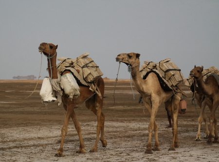Transportation of salt slabs on camel, Karum lake, Danakil, Afar Ethiopia Stock Photo