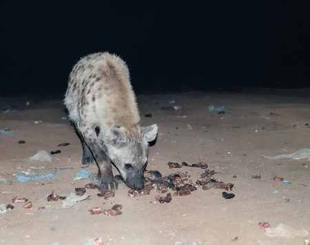 hienas: Feeding of spotted hyenas near Harar, Ethiopia