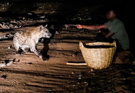 Feeding of spotted hyenas near Harar, Ethiopia