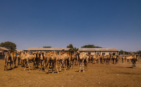 Camels in the camel market, Hargeisa, Somalia