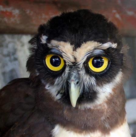 Portrait of young owl chick in Galibi, Maroni, Suriname Stock Photo