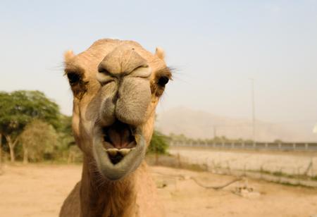 Portrait of funny camel head in Sharjah, UAE