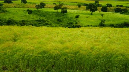 Landbouwlandschap met gebieden van teff bij ochtend in Ethiopië Stockfoto