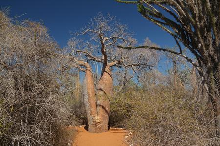 Landscape with Adansonia grandidieri baobab tree, Reniala national park, Toliara, Madagascar 免版税图像