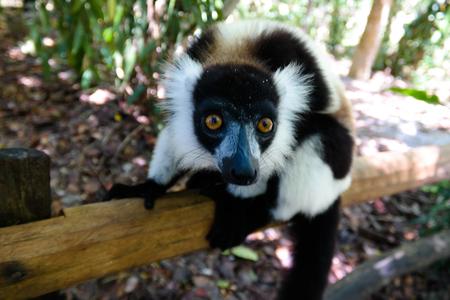 Portrait of black-and-white ruffed lemur aka Varecia variegata or Vari lemur at the tree in Atsinanana region, Madagascar 免版税图像
