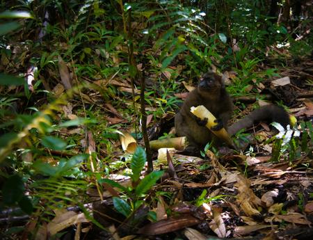 Portrait of the eating Golden bamboo lemur aka Hapalemur aureus , Ranomafana National Park, Fianarantsoa, madagascar