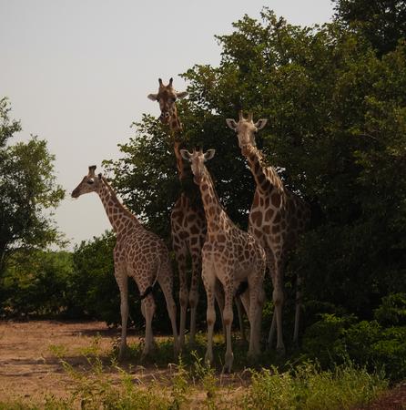 Giraffe family in Koure Giraffe Reserve in Niger