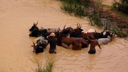 washing zebus in the Onive river - 05 december 2018 Antanifotsy,Madagascar