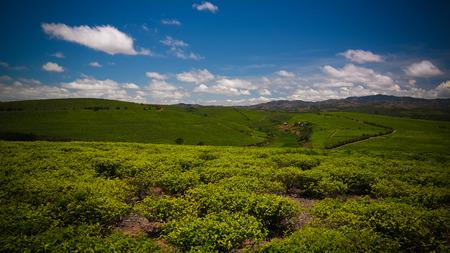 Landscape with tea fields at Sahambavy in Fianarantsoa ,Madagascar