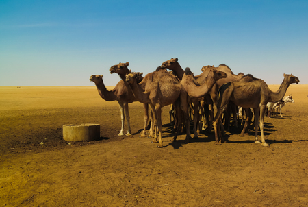 Portrait of drinking camels at the desert well in Ouled-Rachid at Batha, Chad Фото со стока