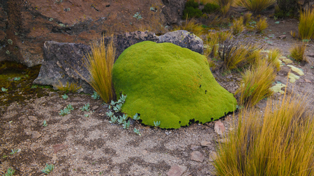 Moss and lichen at sandstone rock formation at Imata in Salinas and Aguada Blanca National Reservation in Arequipa, Peru