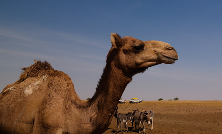 Portrait of drinking camels at the desert well in Djibriga , Barh-El-Gazal, Chad Imagens