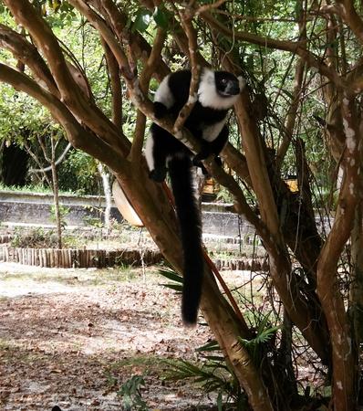 Portrait of black-and-white ruffed lemur aka Varecia variegata or Vari lemur at the tree in Atsinanana region, Madagascar Standard-Bild - 122729931