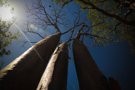 Landscape with Adansonia rubrostipa aka fony baobab tree, Reniala reserve park, Toliara, Madagascar