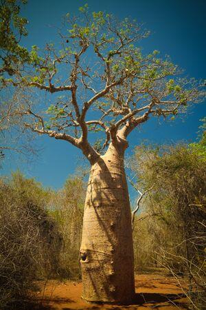 Landscape with Adansonia rubrostipa aka fony baobab tree, Reniala reserve park, Toliara, Madagascar Reklamní fotografie