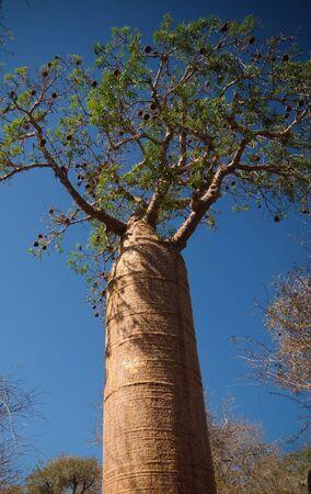 Landscape with Adansonia rubrostipa aka fony baobab tree, Reniala reserve park, Toliara, Madagascar 免版税图像