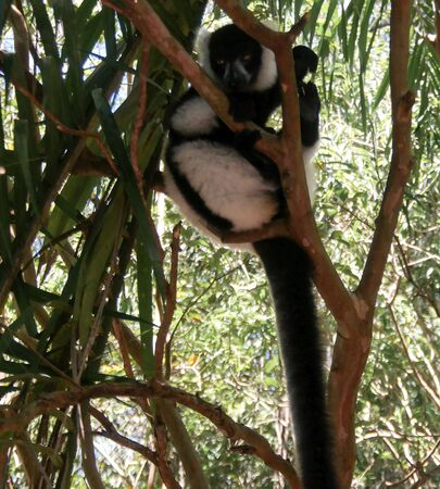 Portrait of black-and-white ruffed lemur aka Varecia variegata or Vari lemur at the tree in Atsinanana region, Madagascar Stock Photo