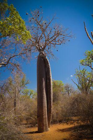 Landscape with Adansonia rubrostipa aka fony baobab tree, Reniala reserve park, Toliara, Madagascar 스톡 콘텐츠