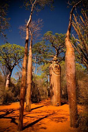 Landscape with Adansonia rubrostipa aka fony baobab tree, Reniala reserve park, Toliara, Madagascar Stock fotó