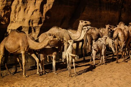 Portrait of drinking camels in canyon aka guelta Bashikele in East Ennedi, Chad