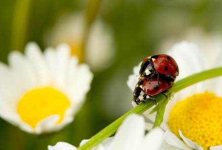 hacer el amor: Ladybug hacer el amor En Margarita