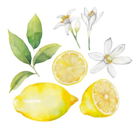 수채화 레몬 모음. 과일, 나뭇잎과 꽃은 흰색 배경에 고립