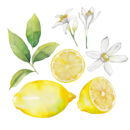 citrus plant: Watercolor lemon collection.  Fruit, leaves and flowers isolated on white background Stock Photo