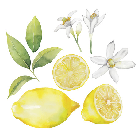 Watercolor lemon collection.  Fruit, leaves and flowers isolated on white background Illustration