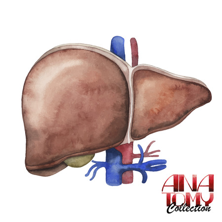 bile: Anatomy collection - liver. Watercolor organ  isolated on white background Illustration