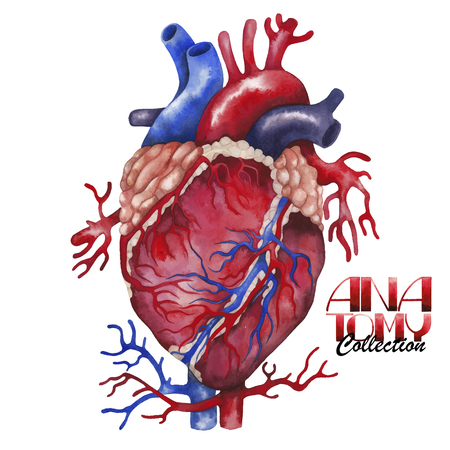 Anatomy collection - heart. Watercolor organ  isolated on white background