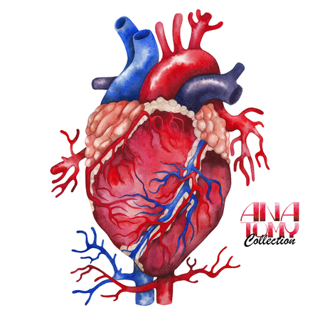 vein valve: Anatomy collection - heart. Watercolor organ  isolated on white background