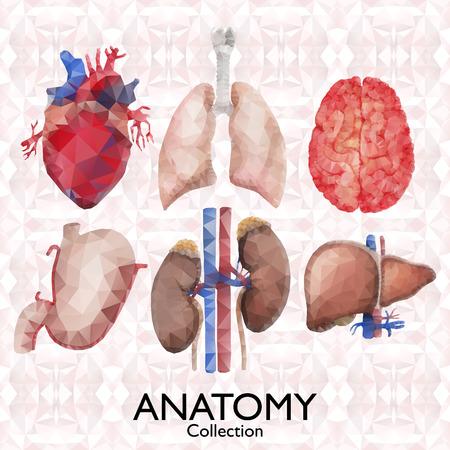 anatomia: Acuarela colección de anatomía - órganos poligonales. Corazón, pulmones, cerebro, estómago, riñón, hígado. Vecor aislado partes del cuerpo humano en el fondo poligonal. ilustración médica