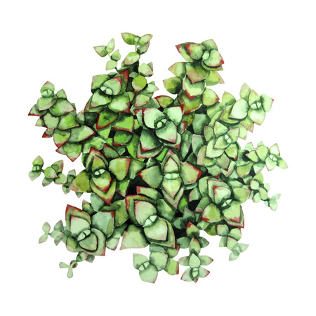 lapidary: Watercolor green succulent isolated on white background. Cute floral element for your design Illustration