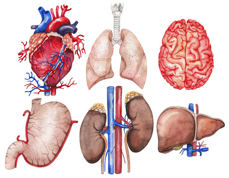 kidney anatomy: Watercolor anatomy collection.  Heart, lungs, brain, stomach, kidney, liver. Human body parts isolated on white background.  Medical illustration