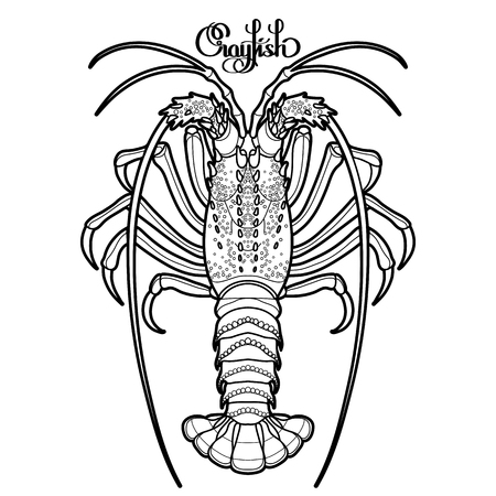 rocky: Graphic vector crayfish drawn in line art style. Spiny or rocky lobster. Sea and ocean creature isolated on white background. Top view. Seafood element. Coloring book page design Illustration