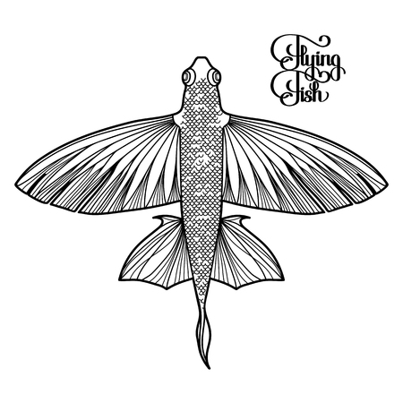 view on sea: Graphic flying fish drawn in line art style. Top view. Sea and ocean creature isolated on white background. Coloring book page design Illustration