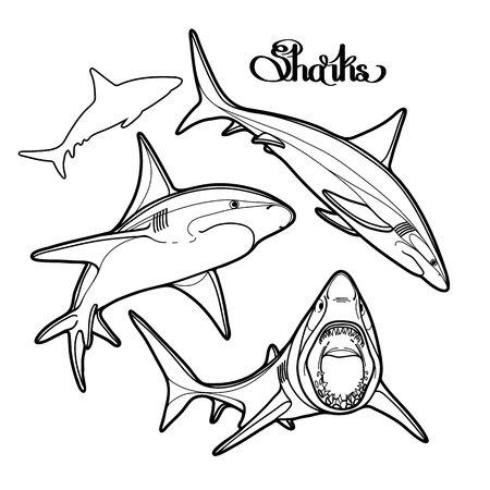 oceanic: Graphic collection of vector sharks drawn in line art style. Oceanic whitetip shark isolated on white background. Illustration