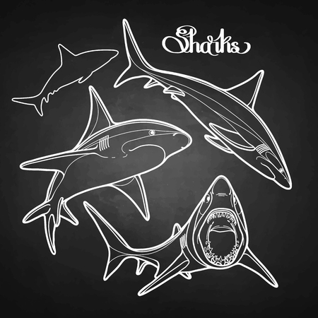 oceanic: Graphic collection of vector sharks drawn in line art style. Oceanic whitetip shark isolated on white chalkboard Illustration