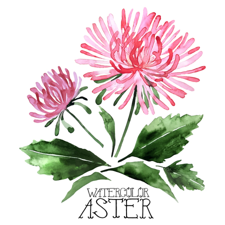 aster: Watercolor aster set.  Vector floral design elements isolated on white background