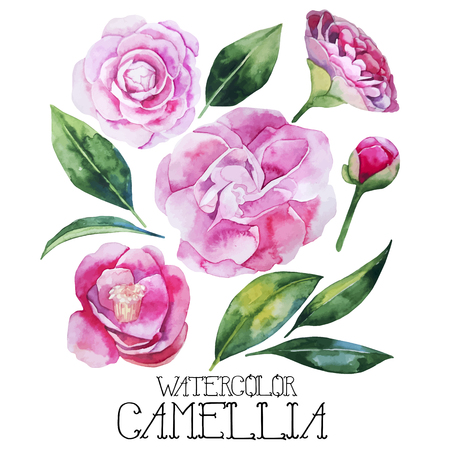 camellia: Watercolor camellia set isolated on white background. Vector floral design
