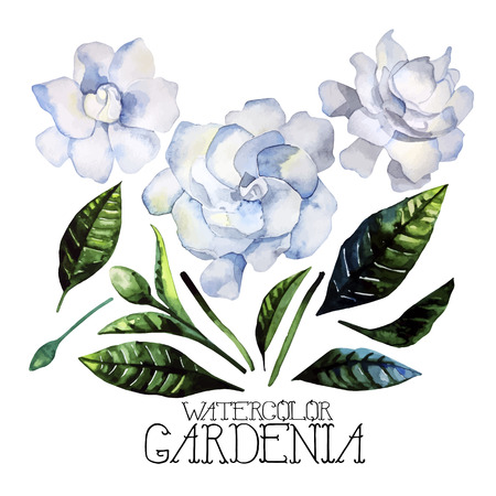 Watercolor gardenia set isolated on white background. Vector floral design